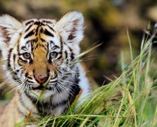 Women Denied Entry to Magic Kingdom with Baby Bengal Tiger